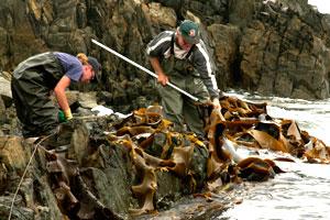 img_kelp-industry